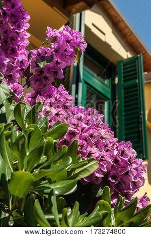 Bougainvillea flowers against the window with green shutters. Croatia