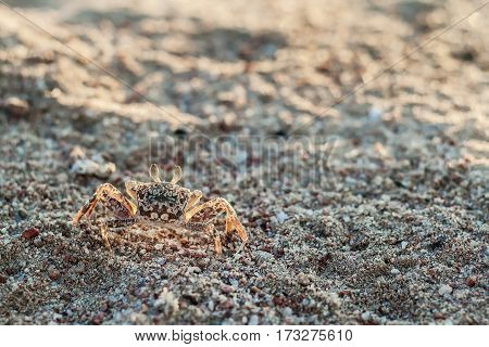 One crab on the sand close up.