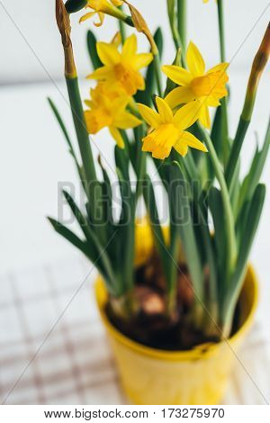 Spring flowers, yellow daffodils in metal pail-yellow flowerpot