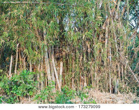 Bamboo trees dry very close near the road way