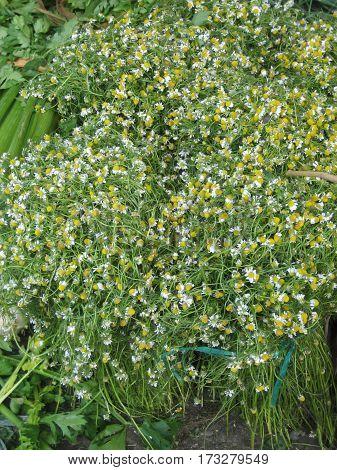 bushel of fresh cut chamomile with flowers in full bloom