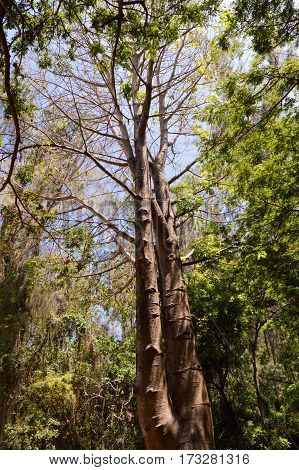 Tree with two trunks in a park in Mombasa in Africa in Kenya