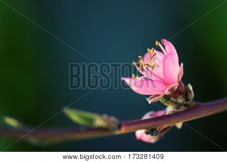 Pink fruit tree flower in sunlight against dark background close-up