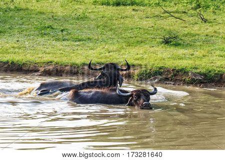 Herd of Asian water buffalo or Bubbalus bubbalis in wild nature