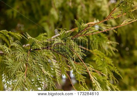 Green Branch Of Juniper In The Forest In Winter