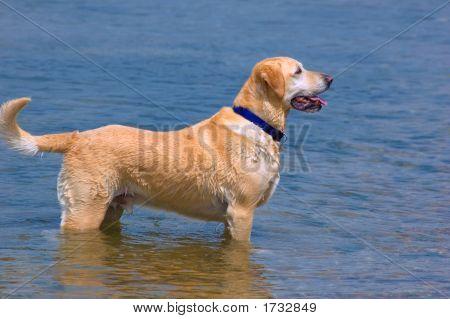 Happy Labrador Dog