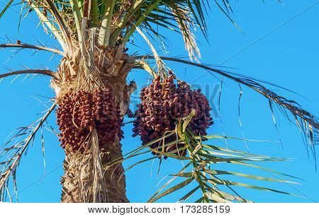 Dates on a palm tree against the blue sky close-up.