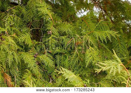Green Branch Of Juniper In The Forest In Winter Background