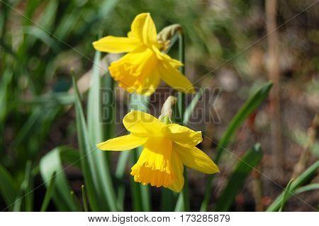 Beautiful Narcissus Flower