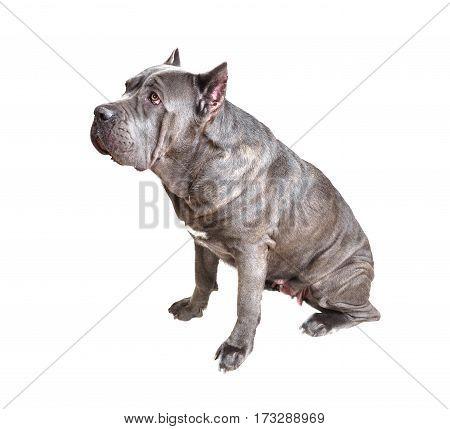 Cane Corso dog  isolated on white background