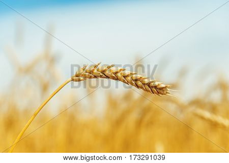 golden ear of wheat in field close up