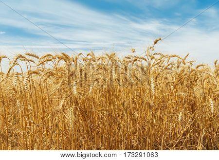 golden harvest field and blue sky