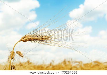 ripe ear of wheat in field closeup