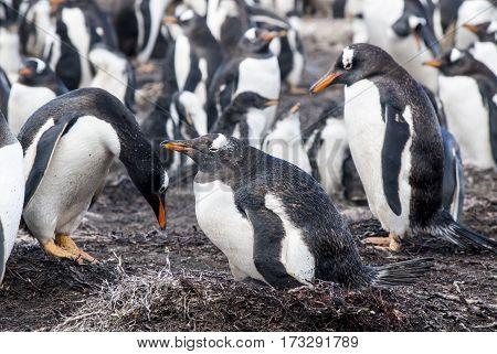 Gentoo Penguin - Pygoscelis papua -Gentoo Penguin colony - Parents and chicks - Falkland Islands
