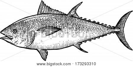 Tuna fish illustration, drawing, engraving, line art, realistic