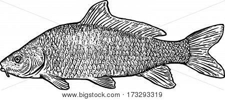 Carp fish illustration, drawing, engraving, line art, realistic