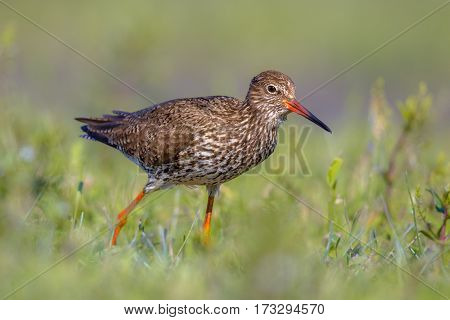 Common Redshank Eurasian Wader In Grass