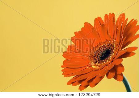 Beautiful orange gerbera on a bright yellow background