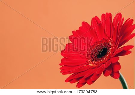 Beautiful red gerbera on a bright orange background