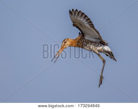 Black-tailed Godwit Wader Bird Preparing For Landing And Calling