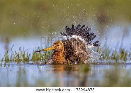 Black-tailed Godwit Wader Bird Washing And Splashing