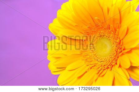 Beautiful yellow gerbera on a bright violet background