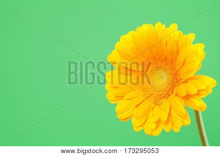 Beautiful yellow gerbera on a bright green background