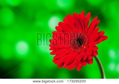 Beautiful red gerbera on a bright green background with bokeh