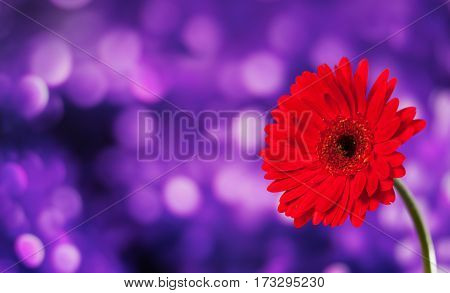 Beautiful red gerbera on a bright violet background with bokeh