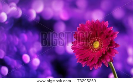 Beautiful purple gerbera on a bright violet background with bokeh