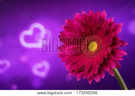 Beautiful purple gerbera on a bright violet background with hearts