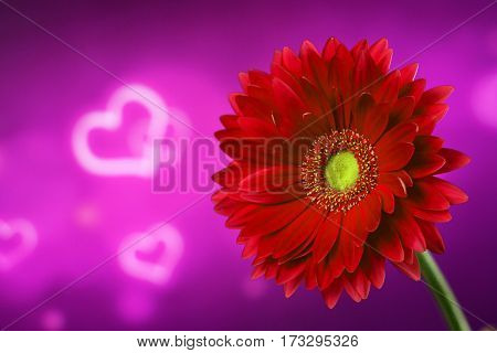 Beautiful red gerbera on a bright purple background with hearts