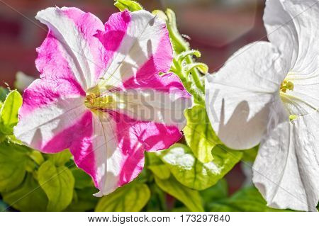 White and pink petunia flowers backlit on a sunny summer day close-up