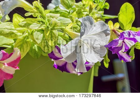 Multicolored flowers petunia in a green flowerpot in a sunny summer day macro