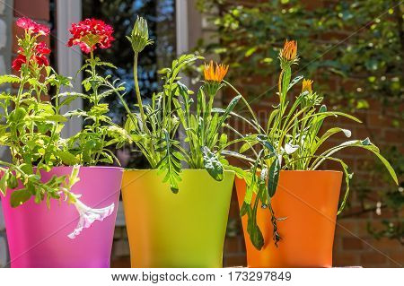 Bright summer flowers in colorful flowerpots backlit on a blurred background of a brick wall window and green foliage in a sunny day