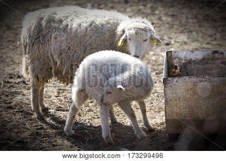 Sheep and lamb in a farm feeding
