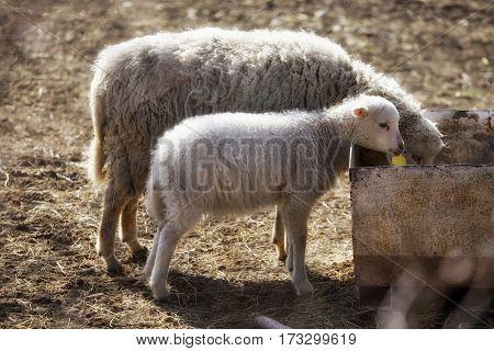 Sheep with lamb in sunshine feeding farm