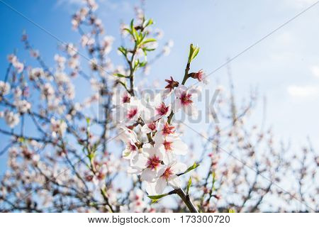 Pink Almond blossom set against a blue sky, vernal blooming of almond tree flowers in Spain