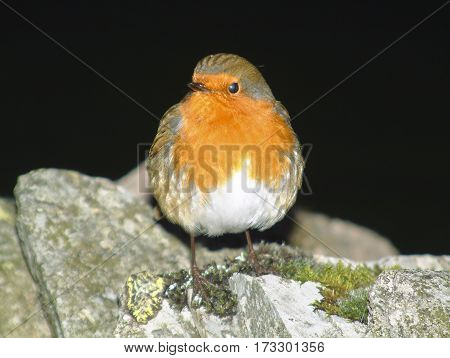 European Robin, Erithacus rubecula, on stone wall with black background