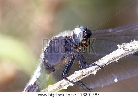 Keeled Skimmer dragonfly, Orthetrum, coerulescens, in close-up