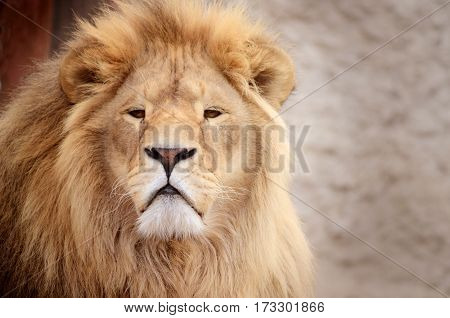 Gorgeous Male Lion in all of his glory. African exotic animal in the zoo