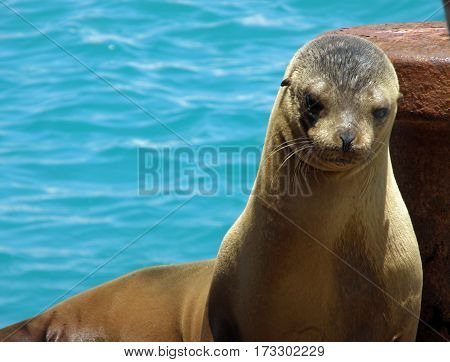 Galapagos sea lion resting on a dock