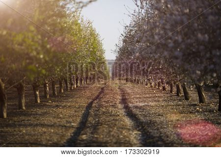 almond-tree in bloom in requena in valencia, spain