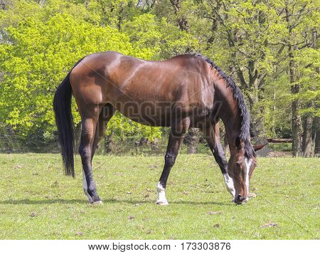 Shiny bay coloured Thoroughbred horse grazing in field on sunny day