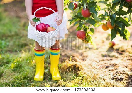 Little Girl Picking Apples In Fruit Garden