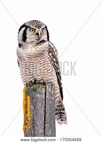 Hawk Owl perched on fence post background isolated on white