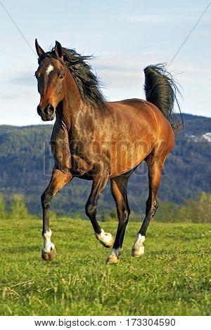 Beautiful Bay Arabian Mare galloping on meadow