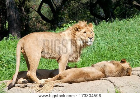 Young male African Lion standing on a rock over two sibling young male lions laying sleeping. Lions are the second largest living cat after the tiger
