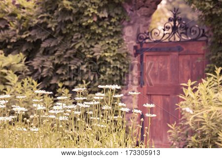 Long stem daisies growing in a beautiful walled garden.