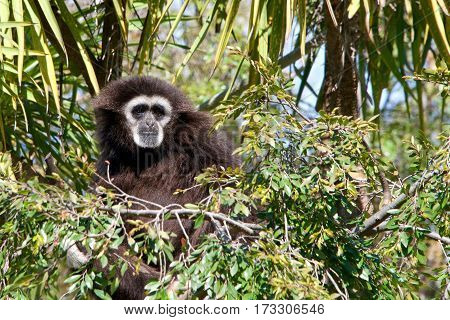 One lar gibbon also known as the white-handed gibbon is a diurnal primate an omnivore common in South East Asia sitting in a tree top looking off into the distance.